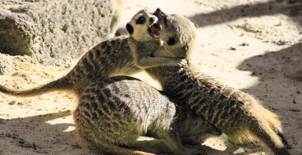 #3 Meerkat action
