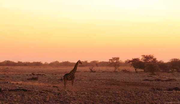 Giraffe at sundown