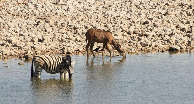 Kudu and Zebra at Oukaukuejo waterhole