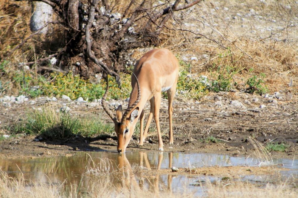 Onguma - Impala drinking