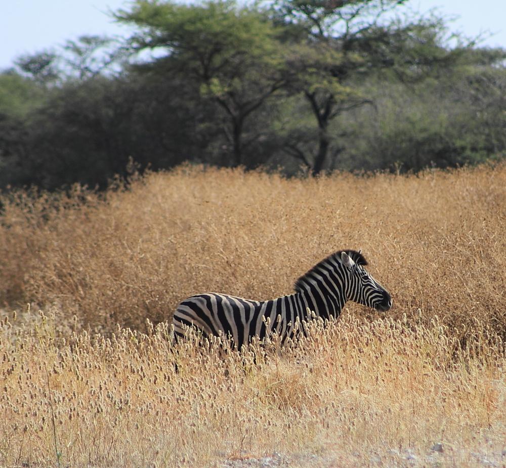Onguma - zebra hiding