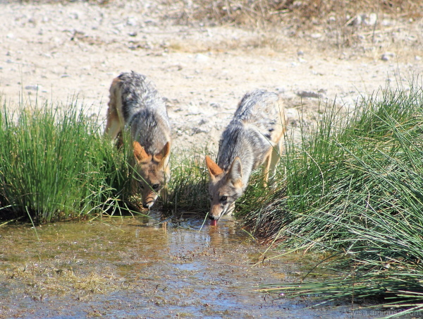 Onguma - jackals at the waterhole