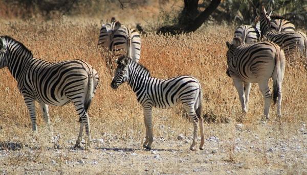 Onguma - zebras