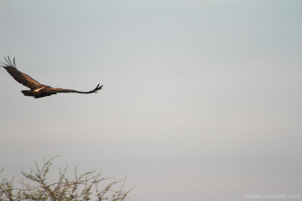 Onguma Game drive - vulture