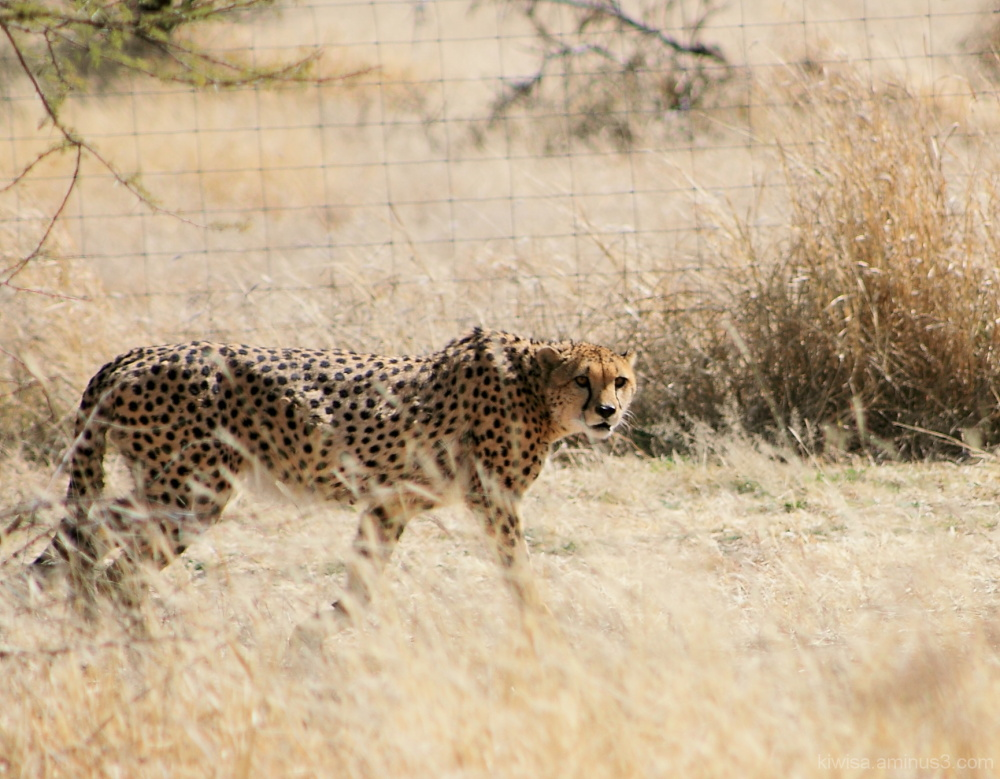 #4 Cheetah Conservation Fund Tour
