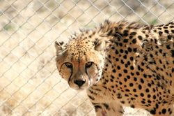 #6 Cheetah Conservation Fund Tour