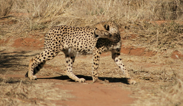 #7 Cheetah Conservation Fund Tour