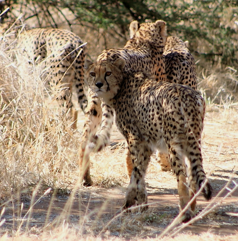 #9 Cheetah Conservation Fund Tour