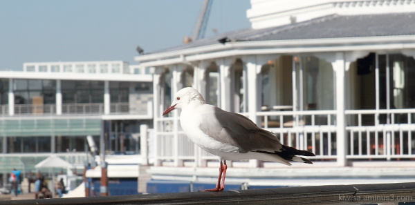 City gull