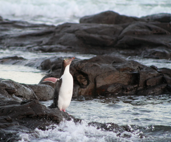 #3 Yellow-eyed Penguins