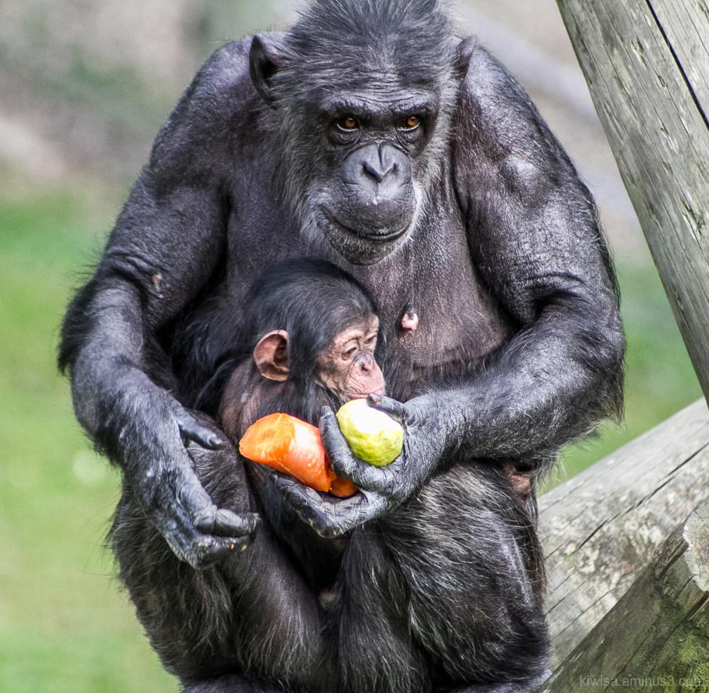 Gorilla mum and baby