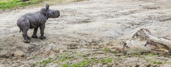 White Rhinocerous calf