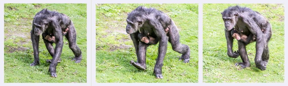 Chimpanzee mum and baby