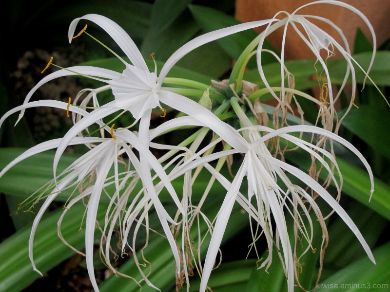 White island lily