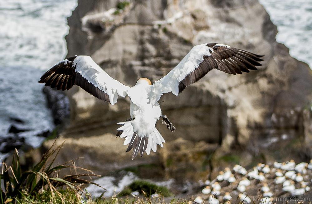 Gannet landing