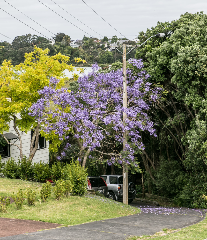 Jacaranda in flower