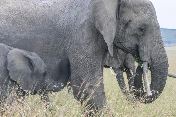 #1 MasaiMara  Big Five - elephant