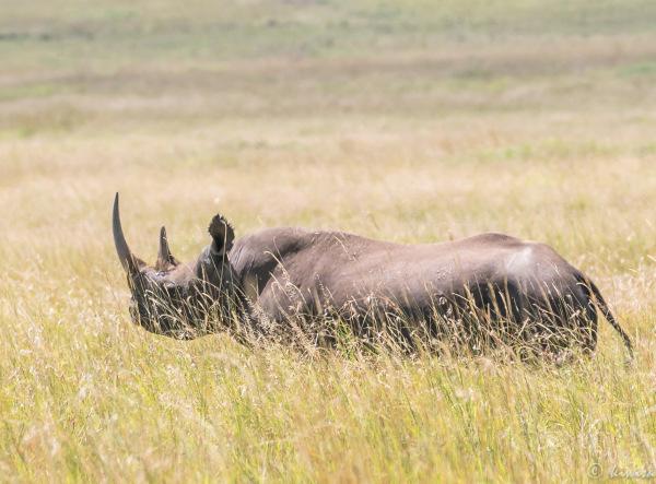 #3 MasaiMara  Big Five - Black Rhinoceros