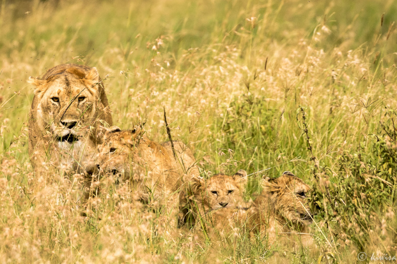 #4 MasaiMara  Big Five - lion