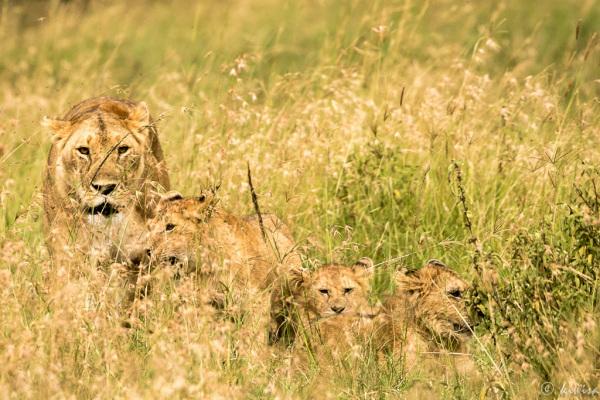 #4 MasaiMara  Big Five - lion