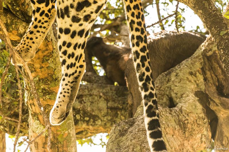 #5 MasaiMara  Big Five - leopard