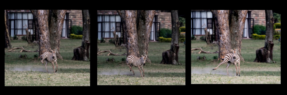 ST Zebra