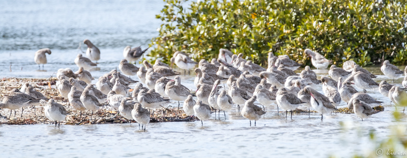 Godwits in Ngataringi Bay