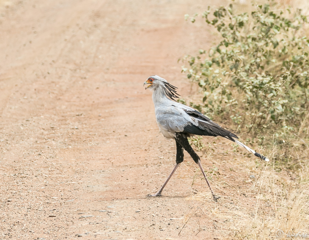 #2 Serengeti  - secretary bird