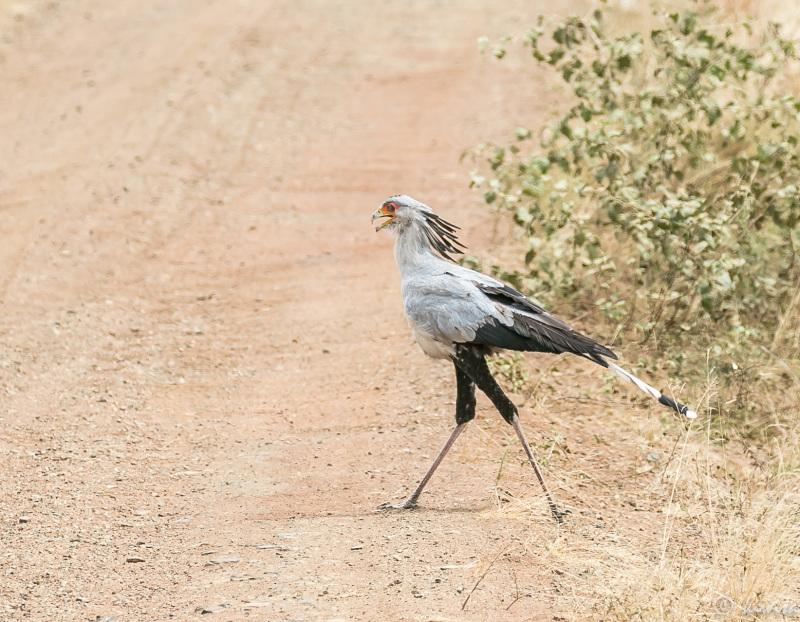 #2 Serengeti  - secretary bird