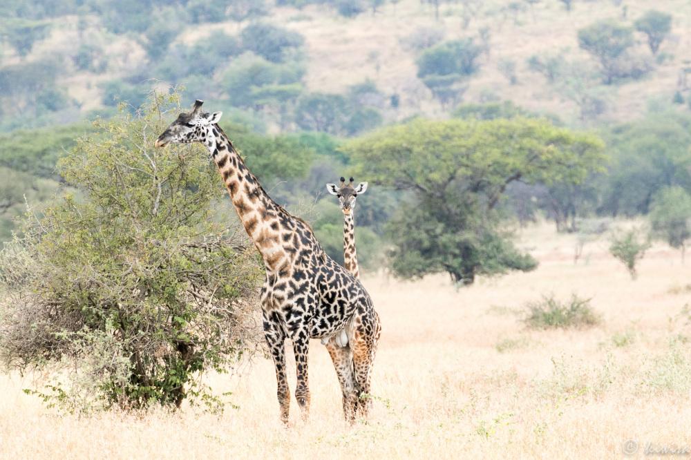#5 Serengeti  - giraffe