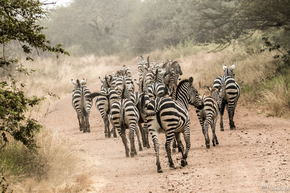 #6 Serengeti  - herd of zebra