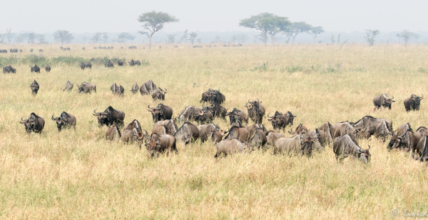 #11 Serengeti  - wildebeest in the morning