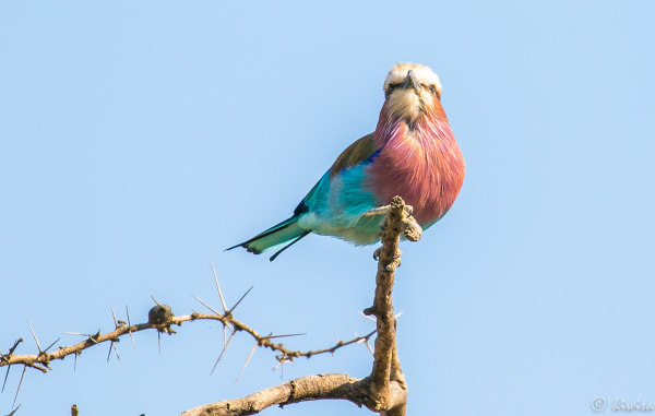 #12 Serengeti  - Lilac Breasted Roller