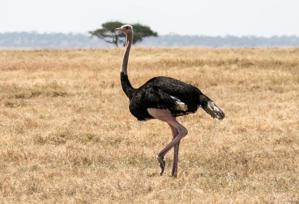 #13 Serengeti  - oSTrich STrut
