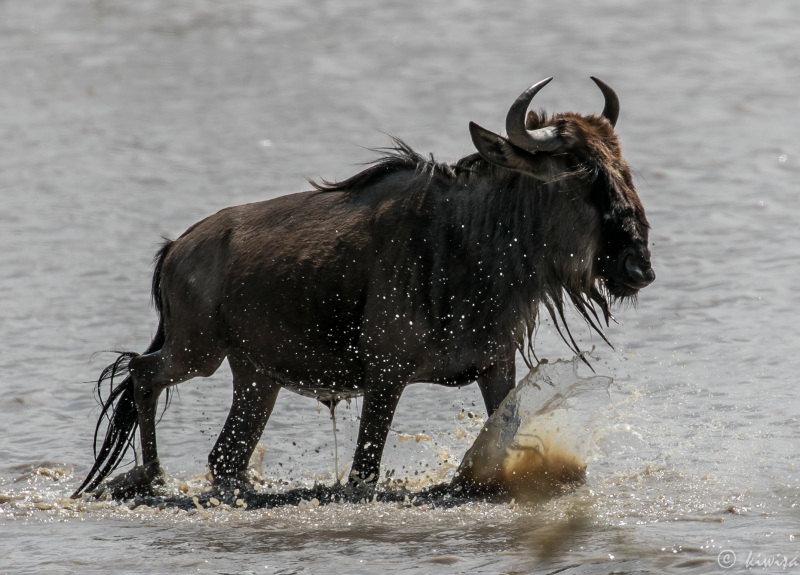 #15 Serengeti  - wildebeest splash