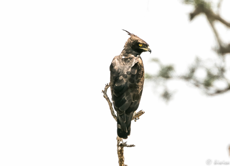 #16 Serengeti  - African Crowned Eagle