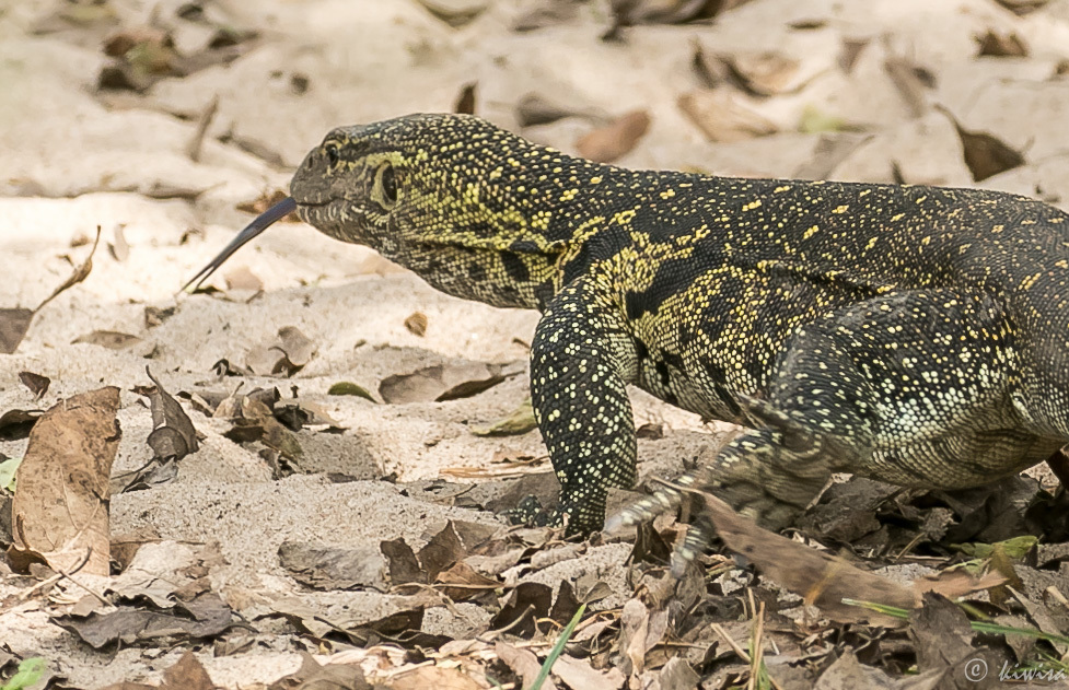 #17 Serengeti  - Nile Monitor/lizard