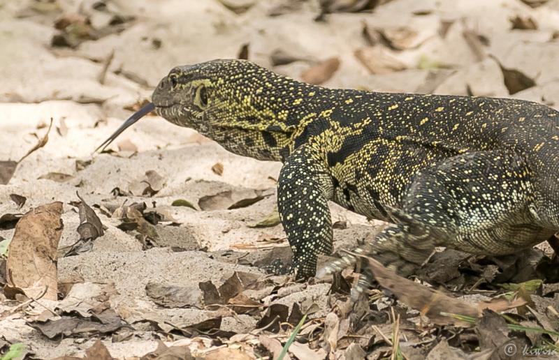 #17 Serengeti  - Nile Monitor/lizard