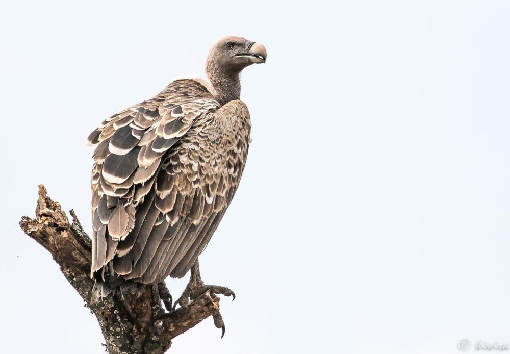 #19 Serengeti  - Ruppells vulture