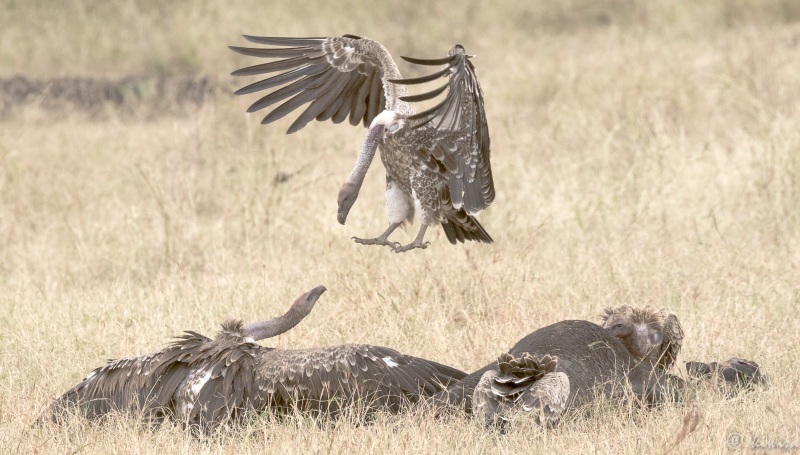 #20 Serengeti  - air combat
