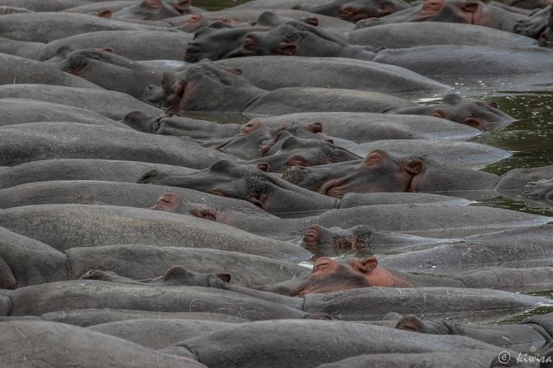 #21 Serengeti  - a pod of hippos