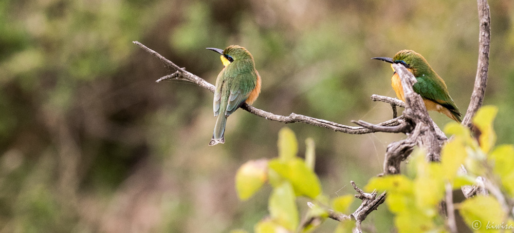 #24 Serengeti  - Little bee eaters