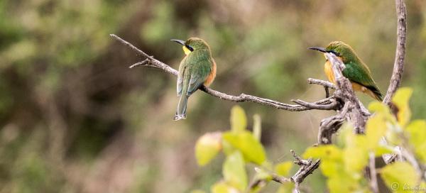#24 Serengeti  - Little bee eaters