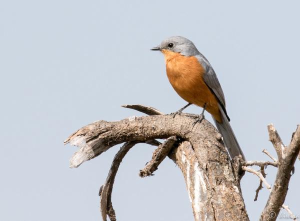 #25 Serengeti  - Silverbird
