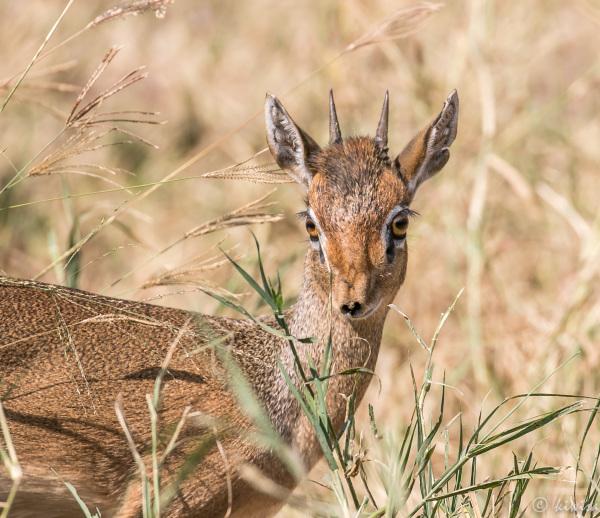 #26 Serengeti  - dik-dik
