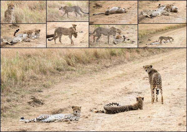 #30 Serengeti  - #1 Cheetah - pretty kitty