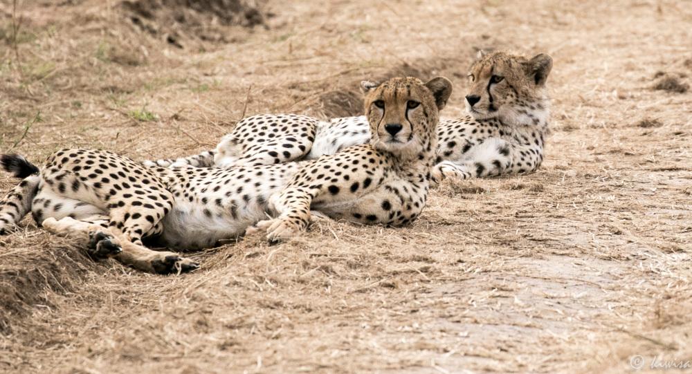#30/2 Serengeti  - Cheetahs