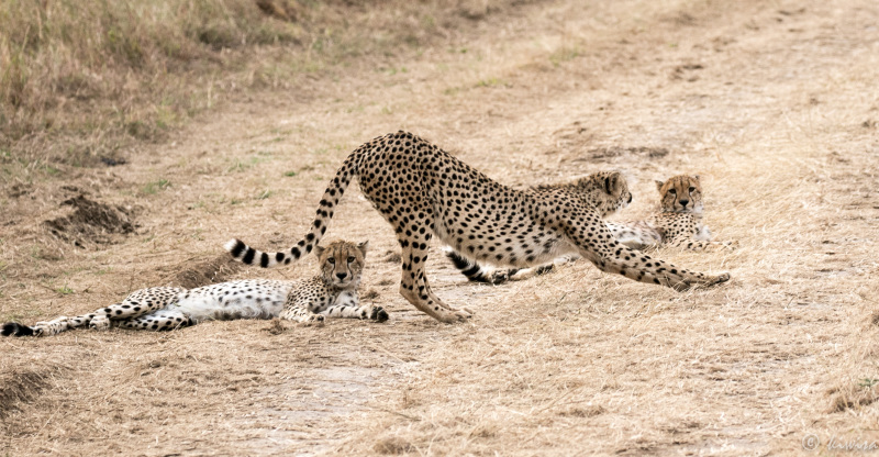 #30/3 Serengeti - cheetah stretching