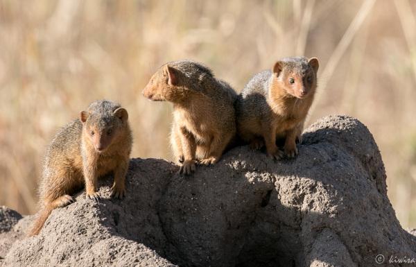 #31 Serengeti  - dwarf mongoose
