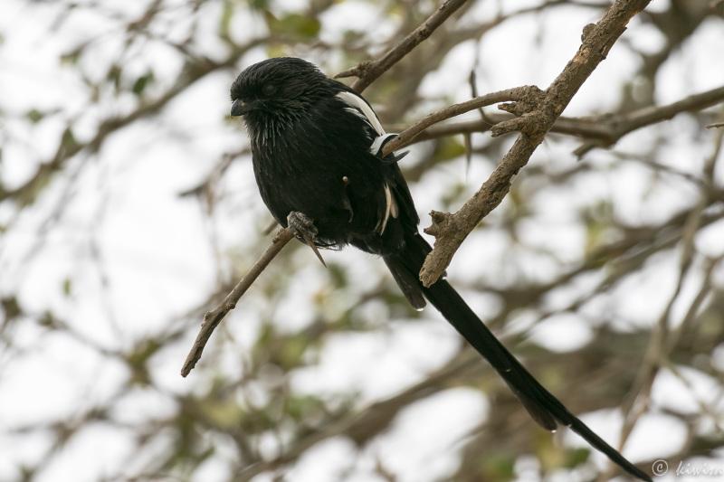 #37-Serengeti - Magpie shrike